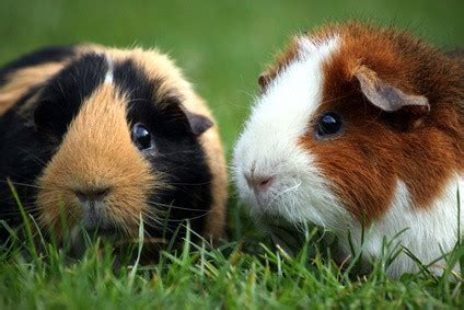 Sexing Guinea Pigs | Is Your Piggy Male or Female?